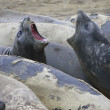 Stock Photo: Couple of seal