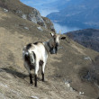 Stock Photo: Goat of mountain