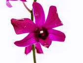 Pink orchid flower on a white background — Stock Photo