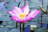 Beauty of the lotus flower — Stock Photo