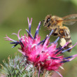 Bee on flower of greater burdock — Stock Photo