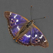 Butterfly - Lesser Purple Emperor over dark grey — Stock Photo