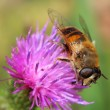Hoverfly on violet flower — Stock Photo