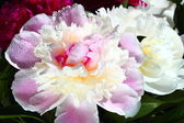Bright peony with water drops — Stock Photo
