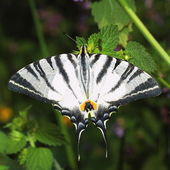 Scarce Swallowtail (Iphiclides podalirius) — Stock Photo