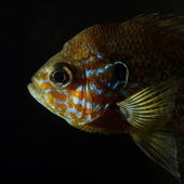 Head of pumpkinseed sunfish (Lepomis gibbosus) — Stock Photo