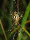 Ragno vespa coperto di rugiada mattutina — Foto Stock