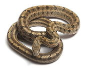 Steppes Ratsnakes (Elaphe dione) over white — Stock Photo