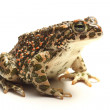 Green toad (Bufo viridis) over white — Stock Photo #17378423