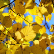 Yellow autumn leaves — Stock Photo #17824635