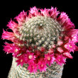 Stock Photo: Flowers of cactus (Mammillaria)