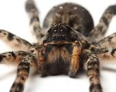 Wolf spider over white. macro — Stock Photo