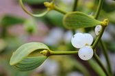 Berry of mistletoe (Viscum album). closeup — Stock Photo