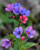 Flowering lungwort (Pulmonaria obscura). Close-up — Stock Photo