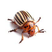 Colorado potato beetle isolated on white — Stock Photo