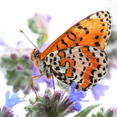 Butterfly - Spotted Fritillary (Melitaea didyma). Macro — Stock fotografie