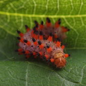Caterpillar of Southern Festoon (Zerynthia polyxena) — Stock Photo