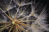 Dandelion seed covered water drops — Stock Photo