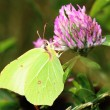 Butterfly - Common Brimstone on clovers flower — Foto Stock