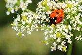 Ladybird on white flowers. Macro — Stock Photo