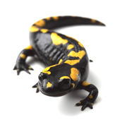Fire salamander (Salamandra salamandra) on white — Stock Photo