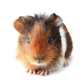 Small guinea pig isolated on white — Stock Photo