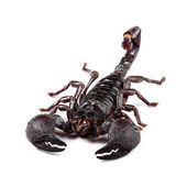 Emperor Scorpion (Pandinus imperator) isolated on white — Stock Photo