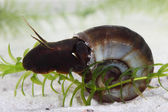 Great ramshorn (Planorbarius corneus) in pond. Macro — Stock Photo