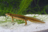 Common newt (Lissotriton vulgaris) in the pond — Stock Photo
