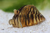 Zebra mussel (Dreissena polymorpha) in pond. Macro — Stock Photo