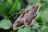 Female of Giant Peacock Moth (Saturnia pyri) — Stock Photo