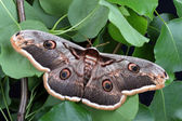 Female of Giant Peacock Moth (Saturnia pyri) — Stock Photo