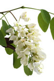 Branch of black locust (Robinia pseudoacacia) isolated on white — Stock Photo
