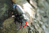 Male and female of stag beetle. Macro — Stock Photo