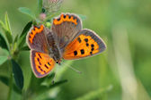 Butterfly - Small Copper (Lycaena phlaeas) on the meadow — Stock Photo