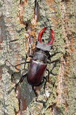 Male of stag beetle on the oak tree — Stock Photo