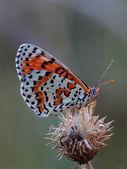 Butterfly - Spotted Fritillary (Melitaea didyma) — Stock Photo