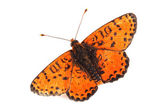 Butterfly - Spotted Fritillary (Melitaea didyma) on white — Stockfoto