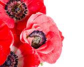 Bukett av röda anemoner på vit — Stockfoto
