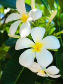 Beautiful plumeria flowers — Stock Photo