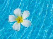 Frangipani flowers in the swimming pool — Stock Photo