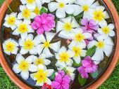 Floating frangipani flowers — Stock Photo