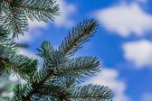 Rama de abeto sobre un fondo de cielo — Foto de Stock