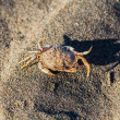 Crab on sand — Stock Photo