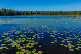 A lot of lily pads on a lake — Стоковое фото