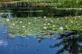 A lot of lily pads on a lake — Foto de Stock