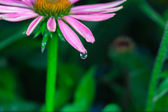 Beautiful Echinacea purpurea — Stock Photo