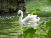 Cisne blanco. — Foto de Stock