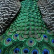 Stock Photo: Peacock tail.