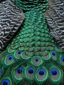 Peacock tail. — Stock Photo